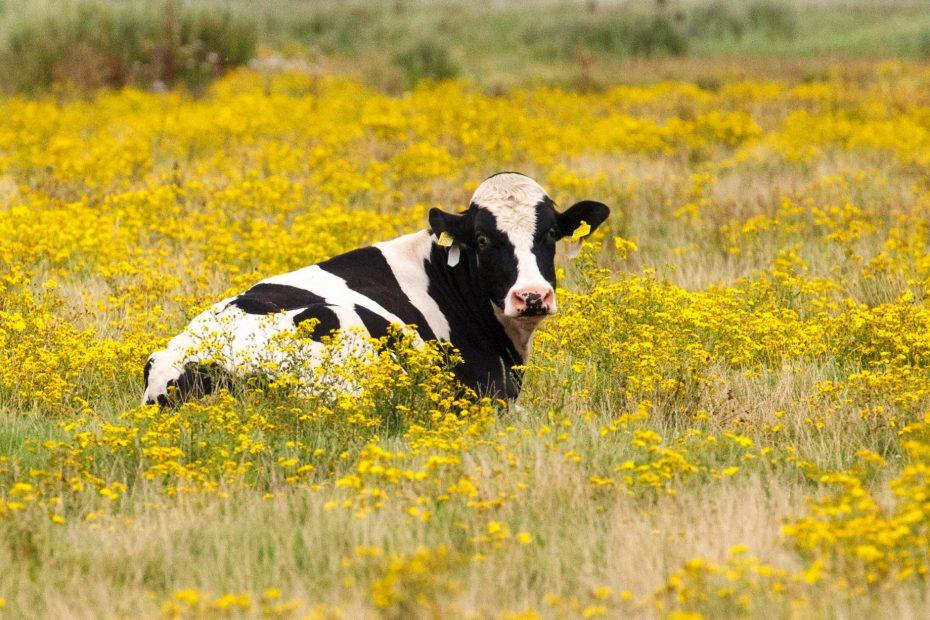 Foto van koe met gele oorkerken in geel bloeiend weiland, F.L.Snijders