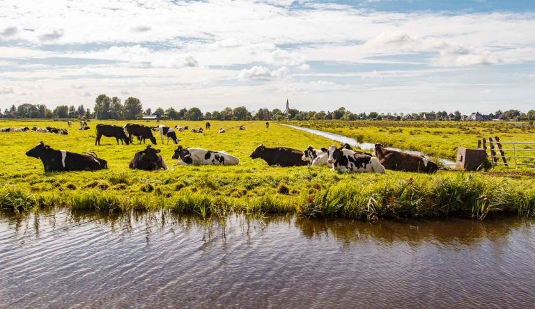 Foto, uitzicht kerk Watergang met koeien, F.L. Snijders